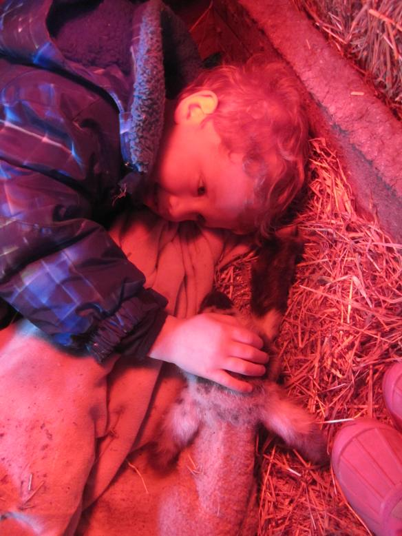 Laying down together under the warm heat lamp, the new lamb and our three-year old.