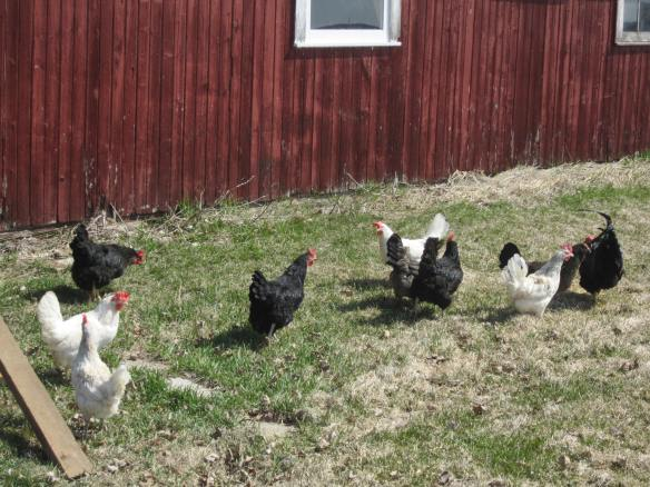 Our chickens enjoyed their new freedom outside.