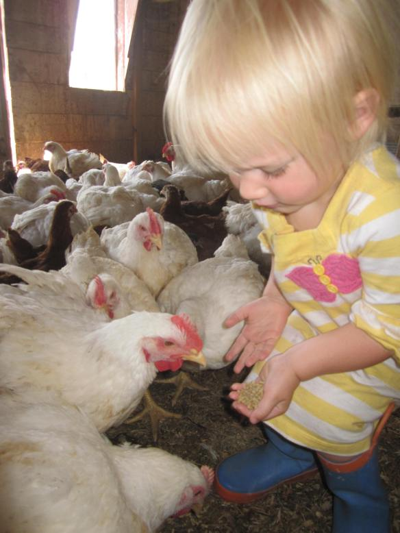 Eight weeks later, my daughter feeds the now full-grown broiler chickens.