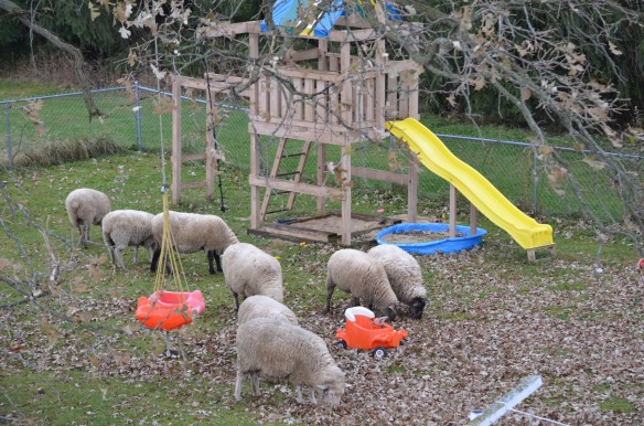 Sheep grazing by the swings and playset...a sight I never would have predicted two years ago.